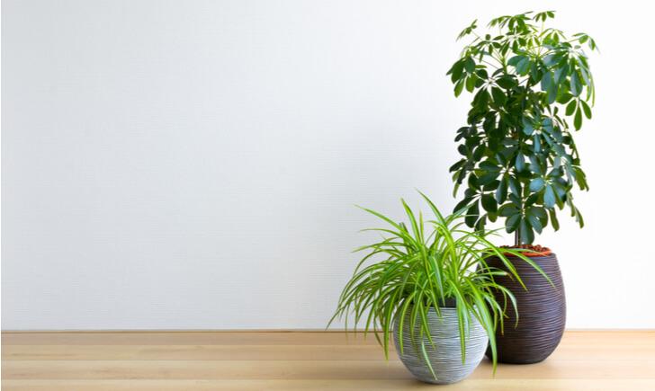 大型観葉植物のおすすめ10選!