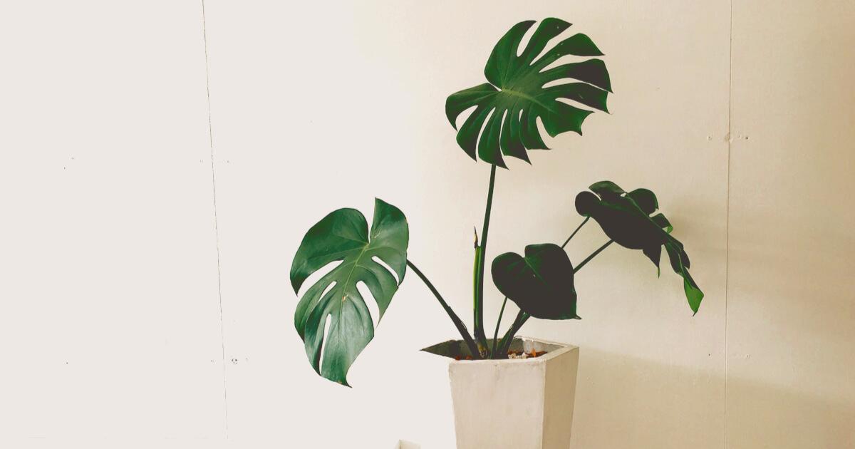 大型観葉植物