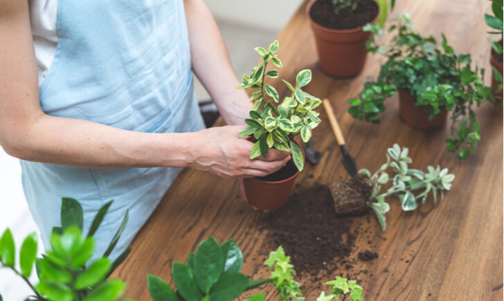 観葉植物を植え替える女性の手