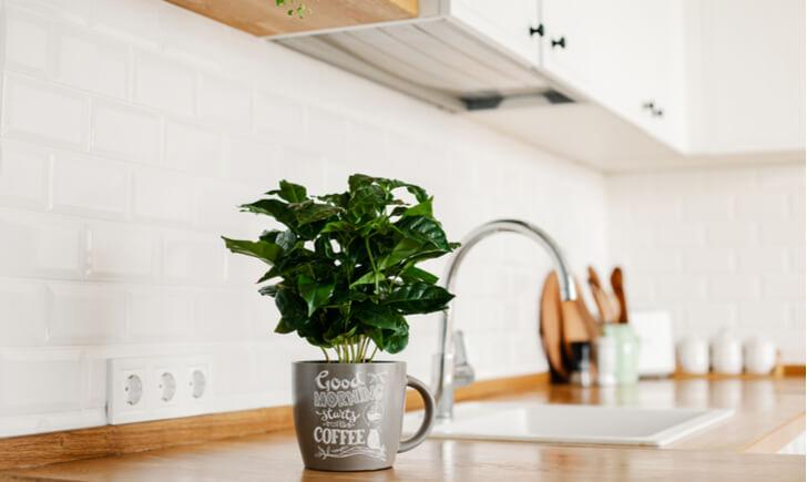 コーヒーの木