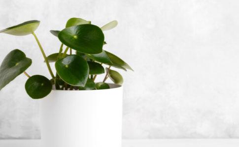 白い鉢にペペロミア・ポリボトリア