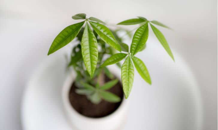 パキラは通販購入OK!幹や葉の特徴から好みのものを見つけよう