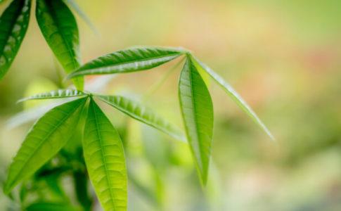 葉がきれいなパキラ