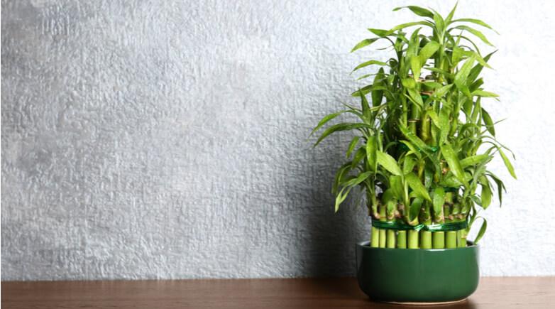 竹のようで竹じゃない「ミリオンバンブー」