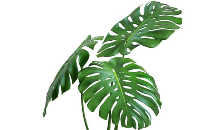 モンステラは正しい育て方で葉の美しさを楽しもう!