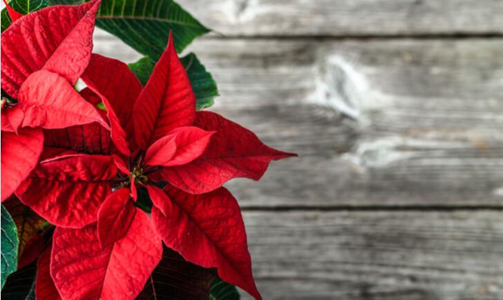 観葉植物で楽しいおうちクリスマスを!