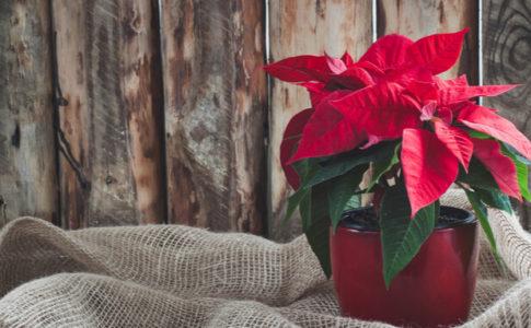 クリスマス 観葉植物