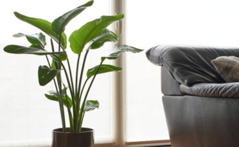 ソファ横の観葉植物