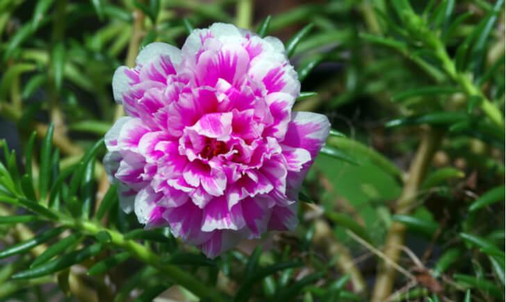 夏花壇の定番ポーチュラカは暑さや乾燥に強く育てやすい植物