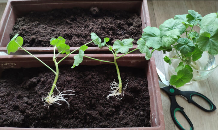 ペラルゴニウムは「挿し芽」で増やすのがおすす