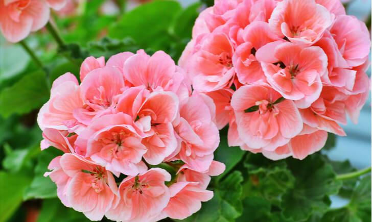 育て方の基本を押さえてペラルゴニウムの可憐な花を楽しもう!
