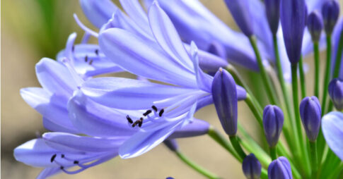 紫のアガパンサス