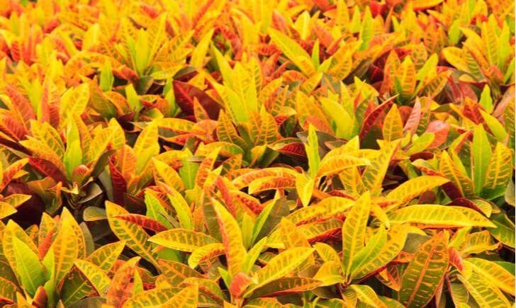 葉っぱの色や大きさなど多種多様なクロトン!お気に入りのものを見つけよう