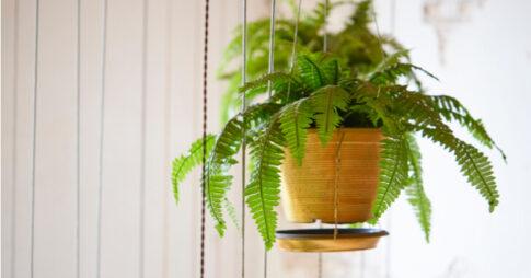 シダ系は観葉植物として人気!その特徴とおすすめの種類5選