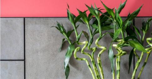 ミリオンバンブーの風水効果!置き場所と方角を知ろう【観葉植物】
