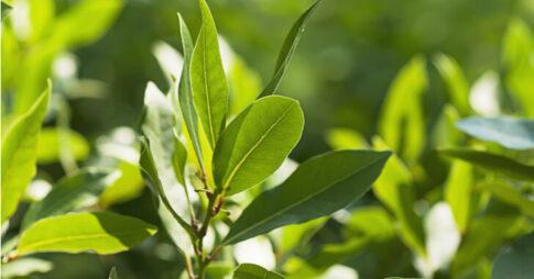 月桂樹(ローリエ)の育て方のポイント4つ!栽培方法から剪定・植え替え・利用方法まで