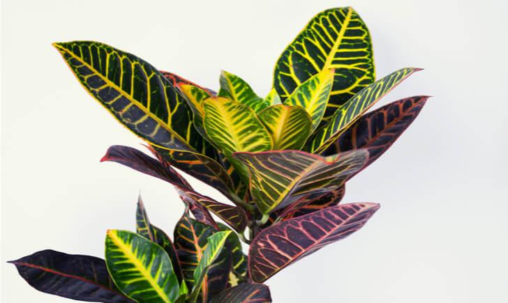クロトンは葉の形や色が変化に富んでいる観賞価値の高い観葉植物