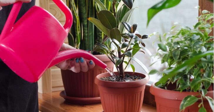 観葉植物 水やり