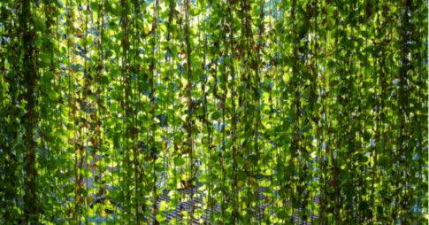 グリーンカーテンでベランダをおしゃれに!作り方の手順とおすすめ植物10選