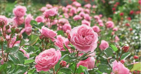 ガーデンローズ(バラ)の種類と育て方!初心者にもおすすめな品種5選