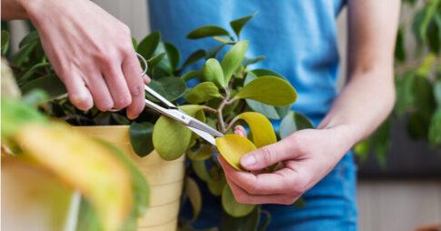 観葉植物の剪定方法が知りたい!気をつけるべきポイントや増やし方・作業例まで