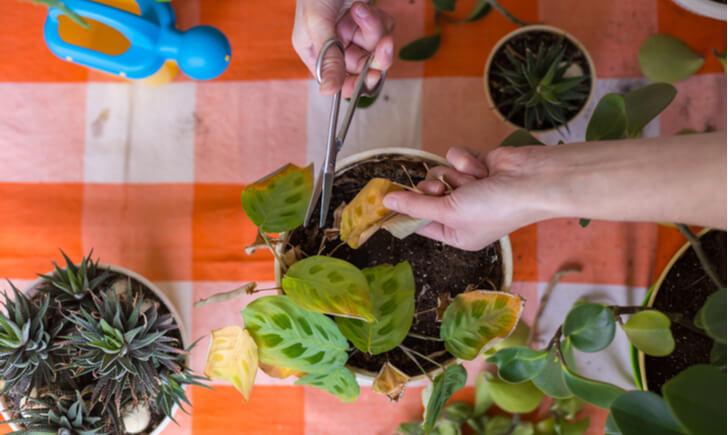 剪定 観葉植物